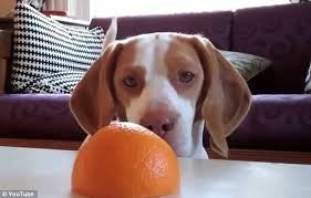 Aρέσει στον σκύλο το πορτοκάλι;