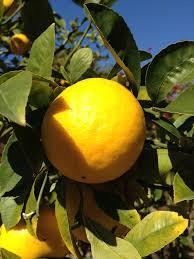 lemon tree x:  meyer lemon tree care learn about growing meyer lemons