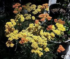 Achillea millefolium 'Terracotta'   California Flora Nursery