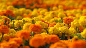 what is the setting for marigolds by eugenia collier what is the setting for marigolds by eugenia collier com