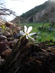 Narcissus serotinus - Wikipedia