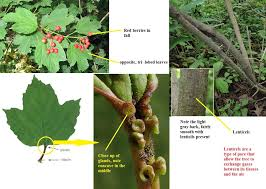Tree & Shrub Identification Made Simple - Forest Preserves of Cook ...