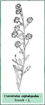 Convolvulus in Flora of Pakistan @ efloras.org