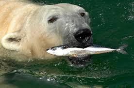 what do polar bears eat polar bears polar bears also like to eat fish