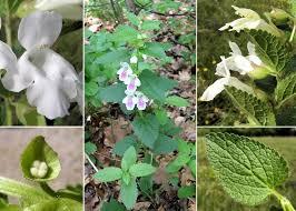 Melittis melissophyllum L. - Sistema informativo sulla flora vascolare ...