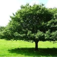 <b>Castanea</b> sativa | Sweet chestnut, Planting <b>flowers</b>, <b>Plants</b> - Pinterest