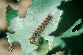 Image result for caterpillars in new england