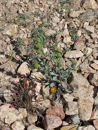 Pardoglossum cheirifolium - Wikipedia, la enciclopedia libre