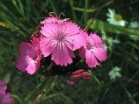 Dianthus carthusianorum, Charterhouse Pink