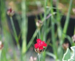New Dianthus - Far Too Many Plants