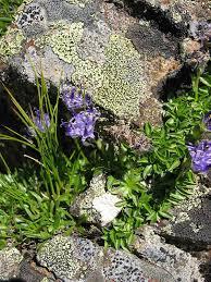 Phyteuma - Wikipedia