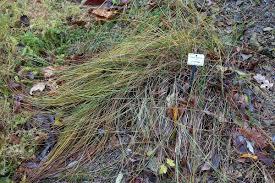 Carex colchica - Wikipedia