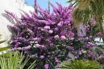 Arbuste fleurs violet et
