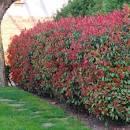 photinias red robin - Achat (photinia fraseri red robin ) - Willemse