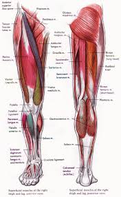 muscle anatomy chart legs human anatomy and physiology diagrams    muscle anatomy chart legs human anatomy and physiology diagrams legs muscle diagram