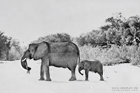Entdecken sie exklusive Fotokunst von Martin Krajczy – Individuell und ... - Martin-Krajczy-Elefant-Wueste-Namib-Trockenfluss-Tag