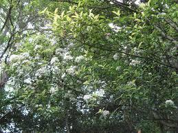 Photinia serrulata - Wikipedia