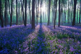 Image result for lavender with trees