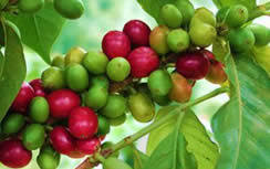 Resultado de imagen para cafe organico colombia