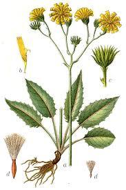 Hieracium sylvaticum - Wikipedia