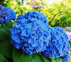 <b>10pcs</b> Blue <b>Hydrangea Flower</b> Seeds Long Blossoming Beautiful ...