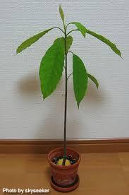 「アボカド 土栽培」の画像検索結果