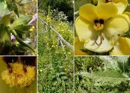 Verbascum creticum (L.) Kuntze - Portale sulla flora del Parco ...