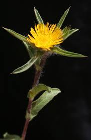 Pallenis spinosa (L.) Cass. | Flora of Israel Online