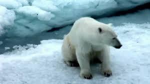 <b>Белые медведи</b> - YouTube