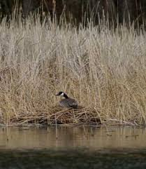 Image result for canada goose nest