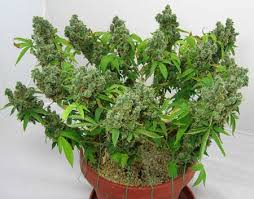 Image result for marijuana plant