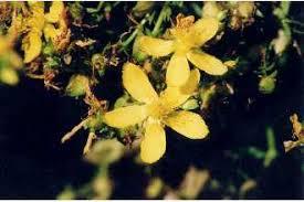 Plants Profile for Hypericum perforatum (common St. Johnswort)
