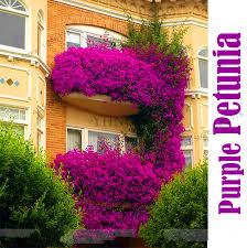 <b>Hot Sale</b>!<b>100</b>% <b>True</b> Hanging Purple Petunia Flower Bonsai, 200 ...