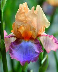 244 Best Iris images | Iris, <b>Iris flowers</b>, Flower art