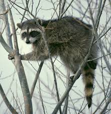 <b>Raccoon</b> - Wikipedia