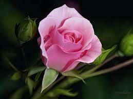 Image result for images of saffron rose hd