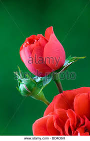 red patio rose red patio rose stock image red patio rose bddh red patio rose stock im
