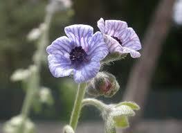 Cynoglossum creticum - Wikipedia