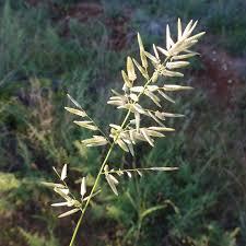 SEINet Portal Network - Eragrostis cilianensis
