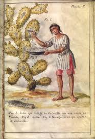 caste and politics in the struggle for mexican independence image of n collecting cochineal a deer tail