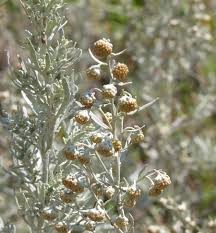Artemisia arborescens (Silver Wormwood) : MaltaWildPlants.com ...