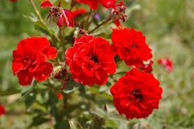 Ароматы духов с нотой «турецкая роза