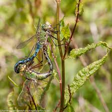 review reasons to be cheerful part hampshire dragonflies emperor anax imperator pair in cop