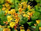 yellow honeysuckle