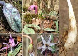 Erythronium dens-canis L. - Sistema informativo sulla flora vascolare ...