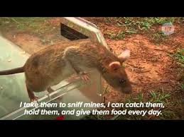 Image result for Images of mine sniffing rats