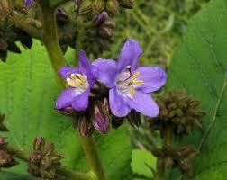 Wild Plants of Malta & Gozo - Plant: Wigandia caracasana (Wigandia)