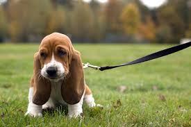 Leash Training: How to Leash Train a Dog or Puppy to <b>Walk</b> on a ...