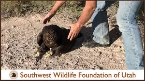 <b>Eagle</b> Found Lifeless but Still Breathing - YouTube