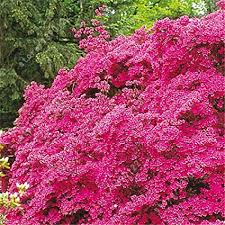 <b>20pcs</b>/<b>bag</b> Japanese azalea seeds, rhododendron azalea, <b>flower</b> ...